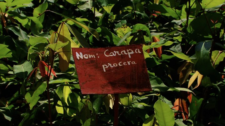 Carapa tree nursery