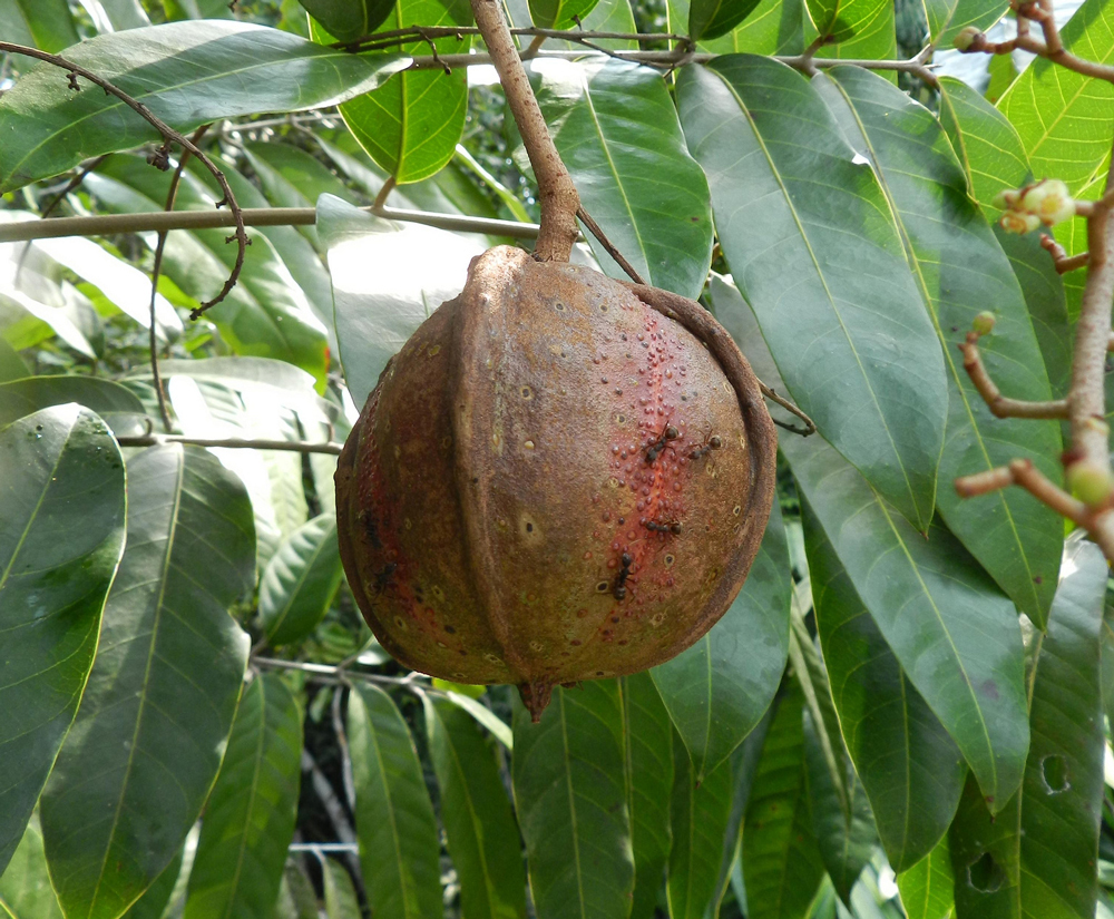 Carapa guianensis fruit