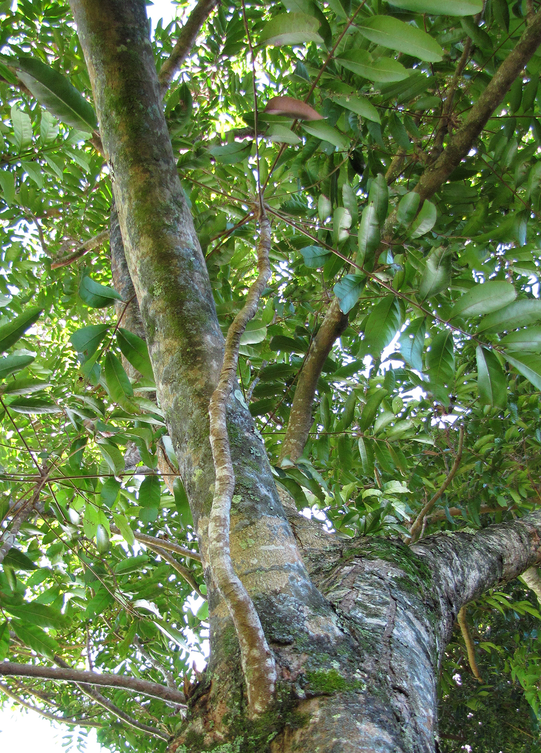 Carapa Guianensis trunk and canopy