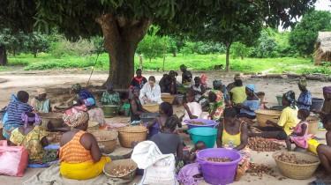 Madadh breaking nutshells in Guinea-Bissau